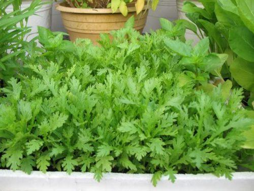 Tần ô được trồng phổ biến ở nước ta
