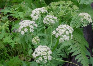 Vị thuốc Xuyên khung là một thảo dược quý trong Đông y