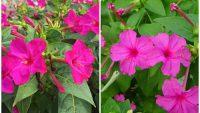 Một số bài thuốc tác dụng chữa bệnh từ cây hoa phấn