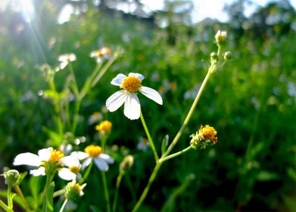 Cây hoa Xuyến chi có nhiều công dụng quý