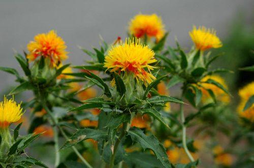 Hồng hoa được trồng nhiều ở nước ta