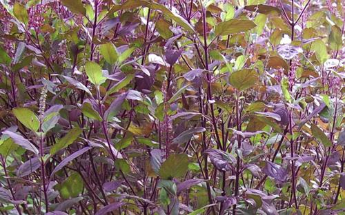 Hương nhu tía giúp chữa cảm lạnh hoặc đi mưa bị nhiễm lạnh
