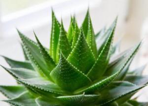 Các loại cây thuốc Nam thường gặp trong dược học Việt Nam