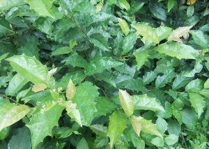 Tác dụng của cây Xạ Đen là gì? 8 Cách điều trị bệnh hiệu quả