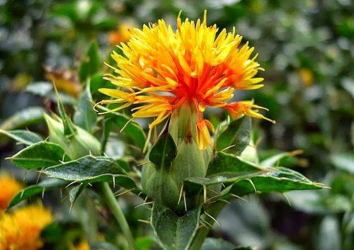 Công dụng chữa bách bệnh từ thảo dược Hồng hoa