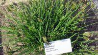 Tìm hiểu những công dụng quý của cây cỏ Mần trầu