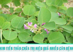 Bật mí công dụng chữa bệnh hữu hiệu của cây thuốc quý kim tiền thảo