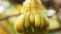 Phật thủ – Thuốc chữa bệnh về đường tiêu hoá ít ai biết