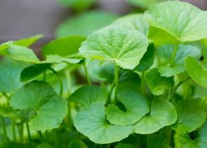 Dược học Việt Nam chứng minh tác dụng của cây rau má